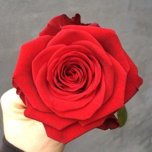Smukke røde roser af højeste kvalitet til levering i Horsens og omegn